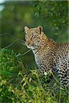 Portrait of Leopard (Panthera pardus) in Tree, Maasai Mara National Reserve, Kenya Stock Photo - Premium Royalty-Free, Artist: Christina Krutz, Code: 600-06645555