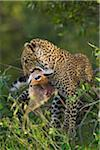 Leopard (Panthera pardus) with Dik-dik (Madoqua) Prey in Tree, Maasai Mara National Reserve, Kenya Stock Photo - Premium Royalty-Free, Artist: Christina Krutz, Code: 600-06645557
