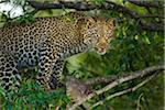 Leopard (Panthera pardus) with Dik-dik (Madoqua) Prey in Tree, Maasai Mara National Reserve, Kenya Stock Photo - Premium Royalty-Free, Artist: Christina Krutz, Code: 600-06645559
