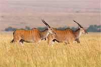 Common Elands (Taurotragus oryx) in Savannah, Maasai Mara National Reserve, Kenya Stock Photo - Premium Royalty-Freenull, Code: 600-06645562