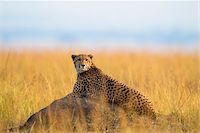 Cheetah (Acinonyx jubatus) adult searching for prey from lying atop termite mound, Maasai Mara National Reserve, Kenya, Africa. Stock Photo - Premium Rights-Managednull, Code: 700-06645576
