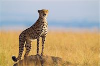 Cheetah (Acinonyx jubatus) adult searching for prey from atop termite mound, Maasai Mara National Reserve, Kenya, Africa. Stock Photo - Premium Rights-Managednull, Code: 700-06645577