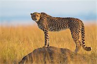 Side View of cheetah (Acinonyx jubatus) adult searching for prey from atop termite mound, Maasai Mara National Reserve, Kenya, Africa. Stock Photo - Premium Rights-Managednull, Code: 700-06645578