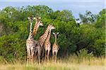 Herd of Masai giraffes (Giraffa camelopardalis tippelskirchi) standing near trees, Maasai Mara National Reserve, Kenya, Africa. Stock Photo - Premium Rights-Managed, Artist: Christina Krutz, Code: 700-06645581