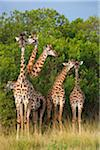 Herd of Masai giraffes (Giraffa camelopardalis tippelskirchi) standing near trees, Maasai Mara National Reserve, Kenya, Africa. Stock Photo - Premium Rights-Managed, Artist: Christina Krutz, Code: 700-06645582