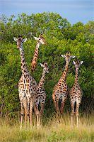 Herd of Masai giraffes (Giraffa camelopardalis tippelskirchi) standing near trees, Maasai Mara National Reserve, Kenya, Africa. Stock Photo - Premium Rights-Managednull, Code: 700-06645583
