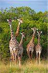 Herd of Masai giraffes (Giraffa camelopardalis tippelskirchi) standing near trees, Maasai Mara National Reserve, Kenya, Africa. Stock Photo - Premium Rights-Managed, Artist: Christina Krutz, Code: 700-06645583