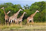 Herd of Masai giraffes (Giraffa camelopardalis tippelskirchi) walking near trees, Maasai Mara National Reserve, Kenya, Africa. Stock Photo - Premium Rights-Managed, Artist: Christina Krutz, Code: 700-06645584