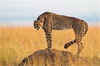 Snarling cheetah (Acynonix jubatus) adult standing on termite mound and showing teeth, Maasai Mara National Reserve, Kenya, Africa. Stock Photo - Premium Rights-Managednull, Code: 700-0664558