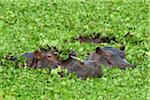 Close-up of three hippopotamus (Hippopotamus amphibus) swimming in swamp lettuce, Maasai Mara National Reserve, Kenya, Africa. Stock Photo - Premium Rights-Managed, Artist: Christina Krutz, Code: 700-06645591