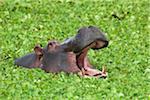 Close-up of a hippopotamus (Hippopotamus amphibus) in a savanna waterhole with its mouth open in threat display, Maasai Mara National Reserve, Kenya, Africa. Stock Photo - Premium Rights-Managed, Artist: Christina Krutz, Code: 700-06645592