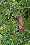 Young olive baboon or anubis baboon (Papio anubis) sitting in a tree and eating berries, Maasai Mara National Reserve, Kenya, Africa. Stock Photo - Premium Rights-Managed, Artist: Christina Krutz, Code: 700-06645848