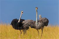 A pair of Masai ostriches (Struthio camelus massaicus) in the grasslands of the Masai Mara National Reserve, Kenya, East Africa. Stock Photo - Premium Rights-Managednull, Code: 700-06645860