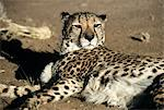 Cheetah Stock Photo - Premium Royalty-Free, Artist: Aflo Relax, Code: 6114-06651733