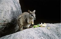 Wallaby eating Stock Photo - Premium Royalty-Free, Artist: Aflo Relax, Code: 6114-06651792