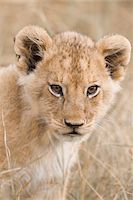 perception - Close-up of african Lion cub (Panthera leo), Maasai Mara National Reserve, Kenya, Africa. Stock Photo - Premium Rights-Managednull, Code: 700-06669655