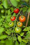 Cherry tomatoes on the plant Stock Photo - Premium Royalty-Free, Artist: Aflo Relax, Code: 659-06671543