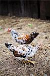 Two live chickens outside the barn Stock Photo - Premium Royalty-Free, Artist: Cultura RM, Code: 659-06671603