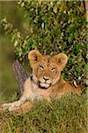 Young lion (Panthera leo), Maasai Mara National Reserve, Kenya Stock Photo - Premium Royalty-Free, Artist: Christina Krutz, Code: 600-06671724