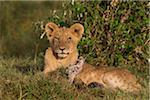Young male lion (Panthera leo), Maasai Mara National Reserve, Kenya Stock Photo - Premium Royalty-Free, Artist: Christina Krutz, Code: 600-06671725