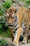 Siberian tiger (Panthera tigris altaica) walking towards camera, in a Zoo, Germany Stock Photo - Premium Rights-Managed, Artist: David & Micha Sheldon, Code: 700-06671805