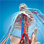 Vascular system, computer artwork. Stock Photo - Premium Royalty-Freenull, Code: 679-06672288