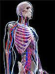 Male vascular system, computer artwork. Stock Photo - Premium Royalty-Freenull, Code: 679-06673522