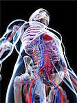 Male vascular system, computer artwork. Stock Photo - Premium Royalty-Freenull, Code: 679-06673523