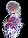 Male vascular system, computer artwork. Stock Photo - Premium Royalty-Freenull, Code: 679-06673529