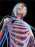 Female vascular system, computer artwork. Stock Photo - Premium Royalty-Freenull, Code: 679-06673552