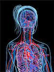 Female cardiovascular system, computer artwork. Stock Photo - Premium Royalty-Freenull, Code: 679-06673559