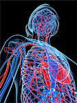 Female cardiovascular system, computer artwork. Stock Photo - Premium Royalty-Freenull, Code: 679-06673561