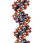 DNA (deoxyribonucleic acid), molecular model. Stock Photo - Premium Royalty-Free, Artist: Science Faction, Code: 679-06673633