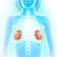 Breast anatomy, computer artwork. Stock Photo - Premium Royalty-Freenull, Code: 679-06674416