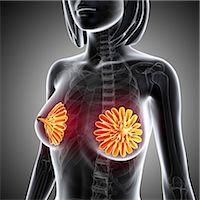 Breast anatomy, computer artwork. Stock Photo - Premium Royalty-Freenull, Code: 679-06674423