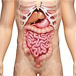 Male digestive system, computer artwork. Stock Photo - Premium Royalty-Free, Artist: Science Faction, Code: 679-06674467