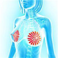 Breast anatomy, computer artwork. Stock Photo - Premium Royalty-Freenull, Code: 679-06674471