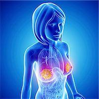 Breast anatomy, computer artwork. Stock Photo - Premium Royalty-Freenull, Code: 679-06674477