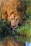 Male Lion (Panthera leo) Drinking, Maasai Mara National Reserve, Kenya, Africa Stock Photo - Premium Royalty-Free, Artist: Christina Krutz, Code: 600-06674852