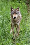 European Wolf (Canis lupus lupus) in Game Reserve, Germany Stock Photo - Premium Royalty-Free, Artist: Christina Krutz, Code: 600-06674863