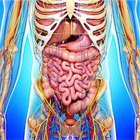 Human anatomy, computer artwork. Stock Photo - Premium Royalty-Freenull, Code: 679-06674800