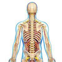 Human anatomy, computer artwork. Stock Photo - Premium Royalty-Freenull, Code: 679-06674843