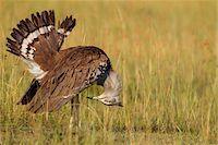 feather  close-up - Male Kori Bustard (Ardeotis kori) Displaying Tail Feathers, Maasai Mara National Reserve, Kenya, Africa. Stock Photo - Premium Rights-Managednull, Code: 700-06674876