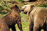 Eurasian brown bear (Ursus arctos arctos) mother with her youngster in the Bavarian Forest, Germany Stock Photo - Premium Rights-Managed, Artist: David & Micha Sheldon, Code: 700-06674962