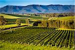 Overview of a vineyard in wine country near Pokolbin, Hunter Valley, New South Wales, Australia Stock Photo - Premium Rights-Managed, Artist: R. Ian Lloyd, Code: 700-06675105