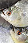 South America, Brazil, Amazonas, freshly caught Black or Red Eye piranha, Serrasalmus rhombeus, Stock Photo - Premium Rights-Managed, Artist: AWL Images, Code: 862-06675721