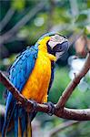South America, Brazil, Blue and Yellow Macaw, Ara ararauna Stock Photo - Premium Rights-Managed, Artist: AWL Images, Code: 862-06675862