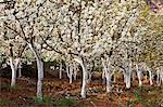 China, Yunnan, Luoping. Pear trees in blossom. Stock Photo - Premium Rights-Managed, Artist: AWL Images, Code: 862-06676207