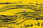 China, Yunnan, Luoping. Mustard fields at Niujie, known as the 'snail farms' due to the unique snail shell like terracing. Stock Photo - Premium Rights-Managed, Artist: AWL Images, Code: 862-06676216