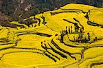 China, Yunnan, Luoping. Mustard fields at Niujie, known as the 'snail farms' due to the unique snail shell like terracing. Stock Photo - Premium Rights-Managed, Artist: AWL Images, Code: 862-06676219